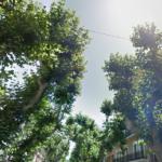"""Experts: 'karakteristieke platanen langs de Calle Marques de Campo in Denia in """"delicate"""" staat'"""